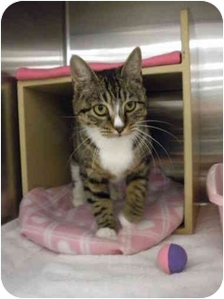 Manx Cat for adoption in San Diego, California - Gingersnap
