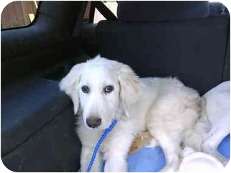 Great Pyrenees/Labrador Retriever Mix Puppy for adoption in Wayne, New Jersey - SNOWFLAKE
