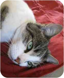 Domestic Shorthair Cat for adoption in Chicago, Illinois - Captain Jack Sparrow