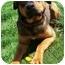 Photo 3 - German Shepherd Dog/Rottweiler Mix Dog for adoption in Latrobe, Pennsylvania - Lena