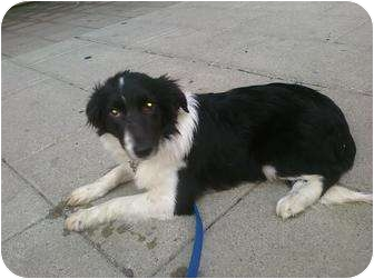 Border Collie Mix Puppy for adoption in Louisville, Kentucky - Daisy Mae