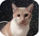 American Shorthair Cat for adoption in Harmony, North Carolina - McGuyver