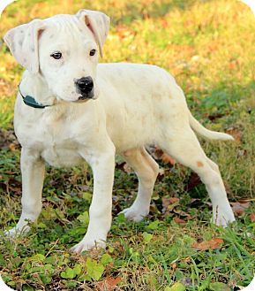 Boxer/American Bulldog Mix Puppy for adoption in Windham, New Hampshire - Darcy