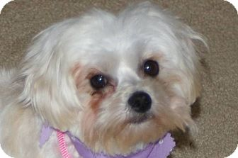 Maltese/Poodle (Toy or Tea Cup) Mix Dog for adoption in Shawnee Mission, Kansas - Tootsie