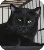 Domestic Mediumhair Cat for adoption in Victoria, British Columbia - Panther