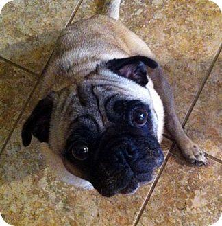 Pug Dog for adoption in Austin, Texas - Parker