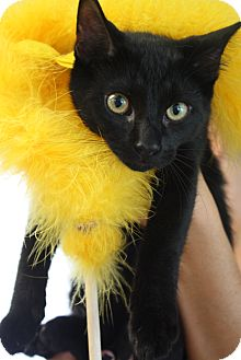 Domestic Mediumhair Kitten for adoption in Chattanooga, Tennessee - Raven Bear