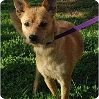 Adopt A Pet :: Foxy - Plainfield, CT