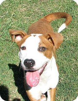 Boxer/Labrador Retriever Mix Dog for adoption in KITTERY, Maine - Petey