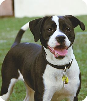 Boston Terrier/Beagle Mix Dog for adoption in North Augusta, South Carolina - SUNDAE