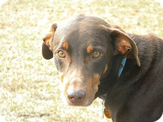 Doberman Pinscher Mix Dog for adoption in Ocean Springs, Mississippi - Diesel