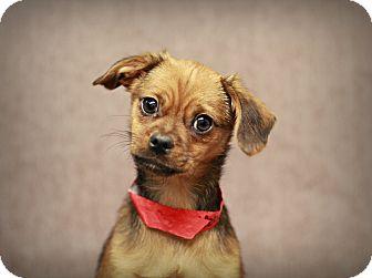Chihuahua/Pug Mix Puppy for adoption in Marietta, Georgia - Bennie
