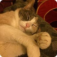 Adopt A Pet :: Misty - Chicago, IL