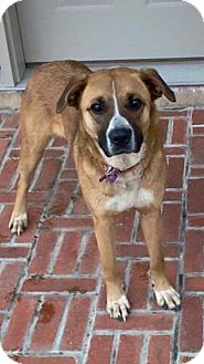 Boxer/Shepherd (Unknown Type) Mix Dog for adoption in Cadiz, Ohio - CAROL
