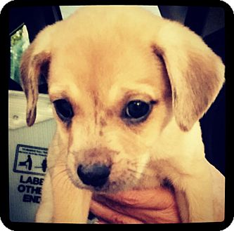 Chihuahua/Terrier (Unknown Type, Small) Mix Puppy for adoption in Grand Bay, Alabama - Lyric
