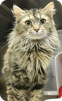 Maine Coon Cat for adoption in Harrisburg, North Carolina - Evie