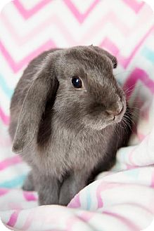 Lop-Eared for adoption in London, Ontario - Lacey