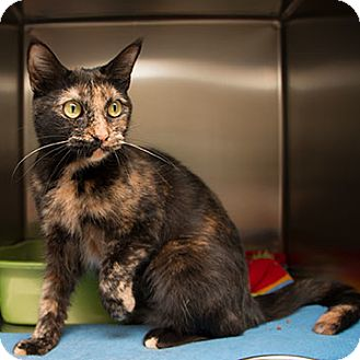 Domestic Shorthair Cat for adoption in Toronto, Ontario - Bella