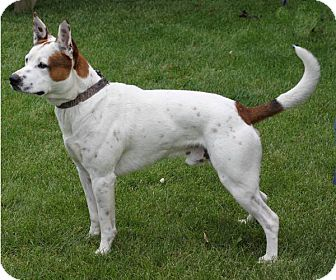 Cattle Dog Mix Dog for adoption in South Haven, Michigan - Kodah