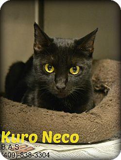 Domestic Shorthair Cat for adoption in Beaumont, Texas - Kuro Neco