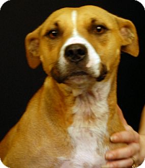 Pit Bull Terrier/Terrier (Unknown Type, Medium) Mix Dog for adoption in Newland, North Carolina - Katniss