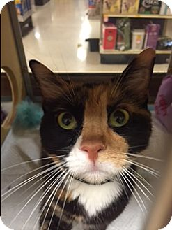 Calico Cat for adoption in Palm Springs, California - Candy Corn