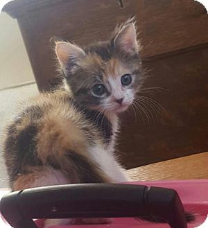 American Shorthair Kitten for adoption in Chico, California - AUTUMN
