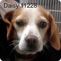 Adopt A Pet :: Daisy - Greencastle, NC