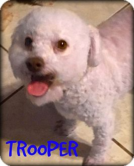 Poodle (Toy or Tea Cup)/Bichon Frise Mix Dog for adoption in Phoenix, Arizona - TROOPER