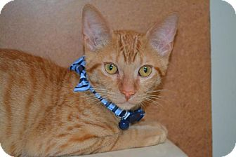 Domestic Shorthair Kitten for adoption in Flower Mound, Texas - Theodore