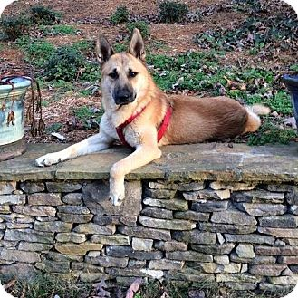 German Shepherd Dog Mix Dog for adoption in Prince Frederick, Maryland - Maverick