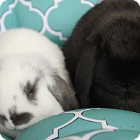 Adopt A Pet :: S'mores and Mousse - Hillside, NJ