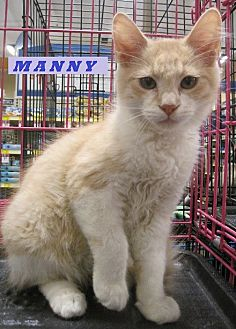 Domestic Mediumhair Cat for adoption in Rosemead, California - Manny