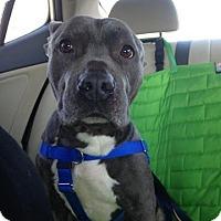 Adopt A Pet :: Shorty - Villa Park, IL