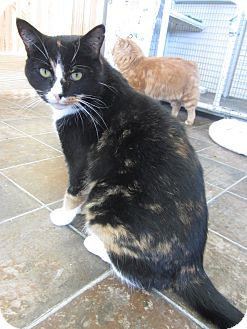 Domestic Shorthair Cat for adoption in Ridgway, Colorado - Calypso
