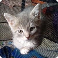 Domestic Shorthair Kitten for adoption in Salamanca, New York - Chandler