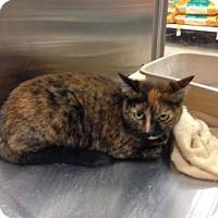 Adopt A Pet :: shylo - Mesa, AZ