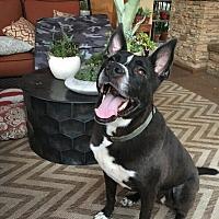 Labrador Retriever/Husky Mix Dog for adoption in Riverside, California - Brewster