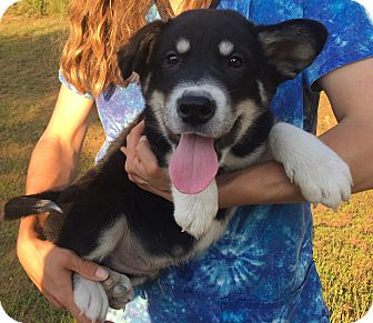 Husky/Shepherd (Unknown Type) Mix Puppy for adoption in Burlington, Vermont - Diego (10 lb) Video