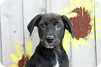 Whippet/Terrier (Unknown Type, Medium) Mix Puppy for adoption in Joliet, Illinois - Felonious