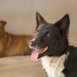 Canaan Dog/Border Collie Mix Dog for adoption in Pickering, Ontario - Joy