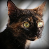 Adopt A Pet :: Fantasia - Hagerstown, MD