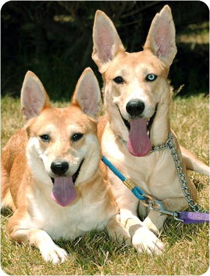 Italian Greyhound/Pharaoh Hound Mix Dog for adoption in Marina del Rey, California - Crystal