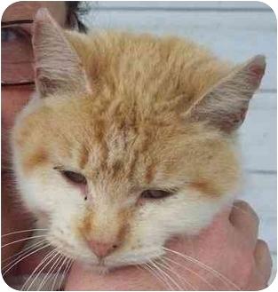 Domestic Shorthair Cat for adoption in Lexington, Missouri - Rummy