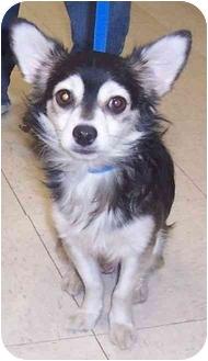 Chihuahua Dog for adoption in Kansas City, Missouri - Sonny