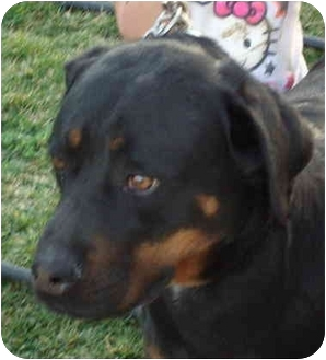 Rottweiler/German Shorthaired Pointer Mix Dog for adoption in Quail Valley, California - Demon
