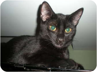 Domestic Shorthair Cat for adoption in East Hanover, New Jersey - Gypsy, Roselee