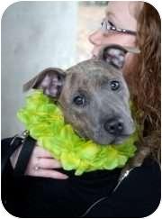 American Staffordshire Terrier Mix Puppy for adoption in WARREN, Ohio - Nevaeh