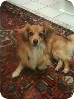 Pomeranian/Sheltie, Shetland Sheepdog Mix Dog for adoption in Nashville, Tennessee - Caleb