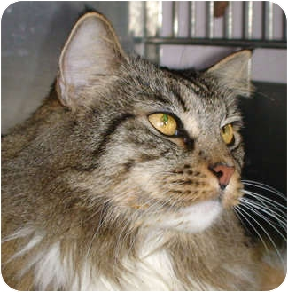 Maine Coon Cat for adoption in El Cajon, California - Kelly